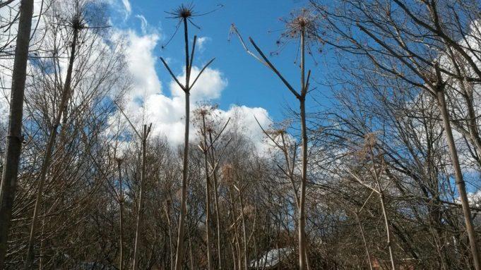 Kuvassa kuivia jättiputken varsia kuvattu sinistä taivasta vasten