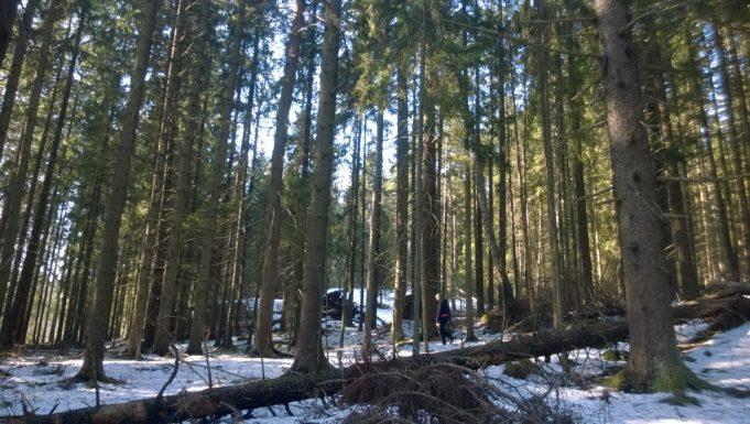 Kuvassa näkyy Niivermäen luonnonsuojelualueen vanhaa kuusikkoa.