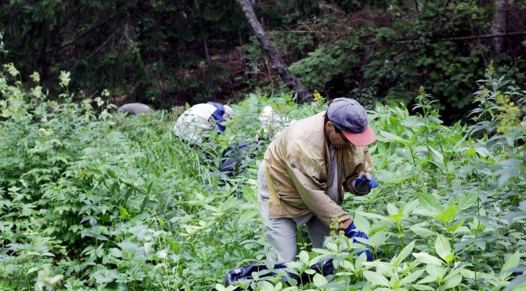 Kuvassa kaksi ihmistä rehevän kasvillisuuden keskellä kumartuneena. Etummäisen miehen vieressä on jätesäkki.