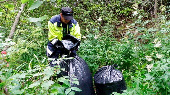 Kuvassa mies laittaa jättipalsamia jätesäkkeihin. ympärillä vehreää kasvustoa