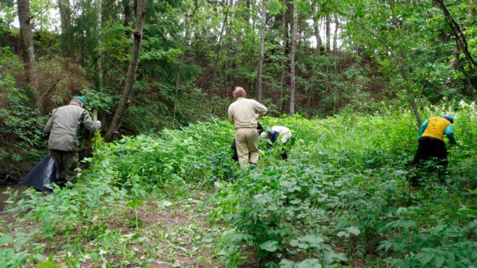 Kuvassa kaksi ihmistä niittää jättipalsamia. Kasvusto ympärillä on rehevän vihreää.