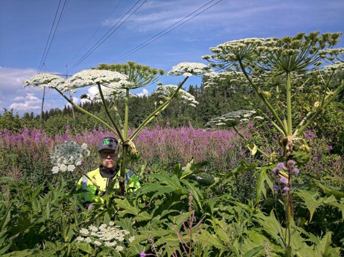 Jättiputki ihmisen vieressä. Lehdet hartioiden korkeudella, kukinto ulottuu noin 1 m pään yläpuolelle.