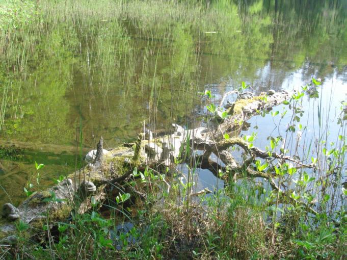 Kuvassa puun runko kaatunut matalaan rantaveteen. Vihreää vesikasvillisuutta.