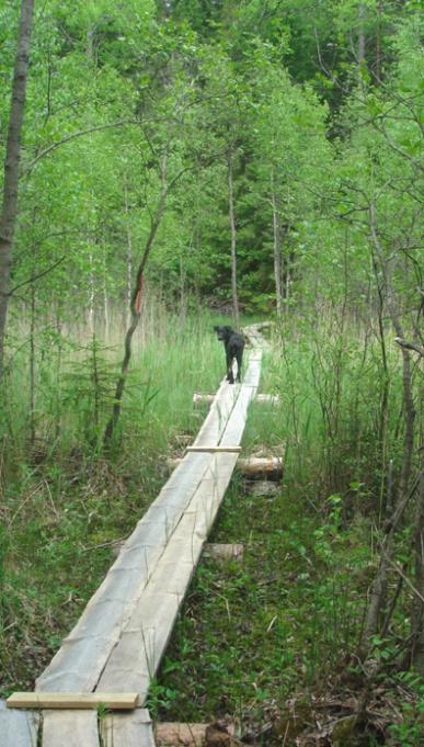 Kuvassa pitkospuilla musta koira katsoo kuvaajaan päin. Ympärillä vehreää kasvillisuutta.