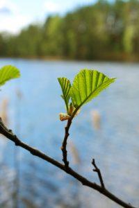 Lähikuvassa puun oksassa kirkkaan vihreät lepän lehden alut. Taustalla järvimaisema.