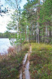 Kuvassa kuluneet pitkospuut kulkevat kanervikossa järven rannalla matalakasvuiseen mäntymetsään.