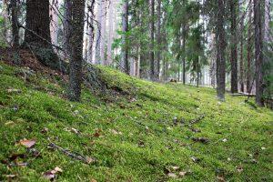Kuvassa vihreää sammalta ja kuusien runkoja sumuisessa metsässä.