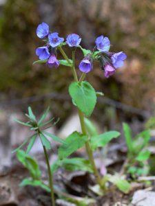 Lähikuvassa hento kasvi, jossa sinisiä kukkia.