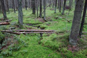 Kuvassa kuusimetsä, jossa sammaleinen aluskasvillisuus. Keskellä kiemurtelee pieni puro, jonka yli on kaatunut kaksi puunrunkoa.