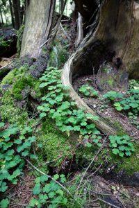 Kuvassa lahonnutta puunjuurakkoa, vihreitä ketunleipiä ja sammalta.