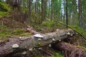 Kuvassa kaksi puunrunkoa maassa ristikkäin. Toisessa rungossa useita valkoisia kääpiä. Taustalla kuusimetsää.