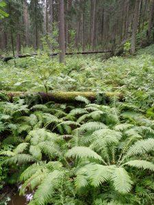 Kuvassa runsaasti vihreitä saniaisia ja kaatunut sammaleinen puunrunko. Taustalla kuusimetsä.