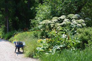 Kuvassa kottikärryt tien reunassa. Pientareella jättiputkikasvusto, jossa suuret lehdet ja korkeat kukintovarret.