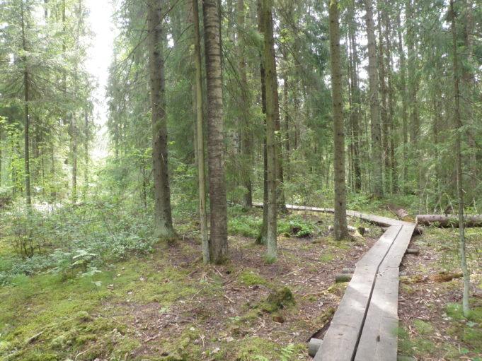 Pitkospuut kaartuvat vasemmalle metsässä. Aurinko paistaa puiden välistä.