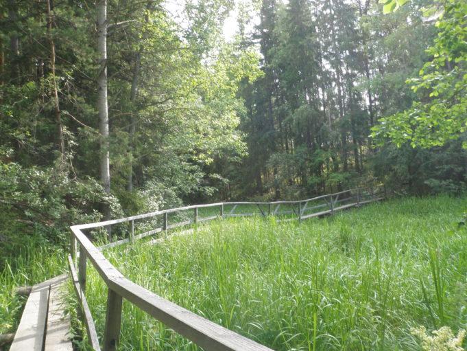 Kuvassa pitkospuut kaastuvat oikealle vehreän kasvillisuuden keskellä. Pitkospuiden oikealla puolella on puinen tukikaide.