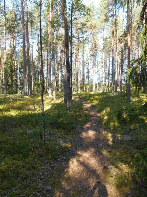 Kuvassa polku kulkee mäntymetsässä. Aurinko paistaa puiden runkojen välistä kanervikkoon.