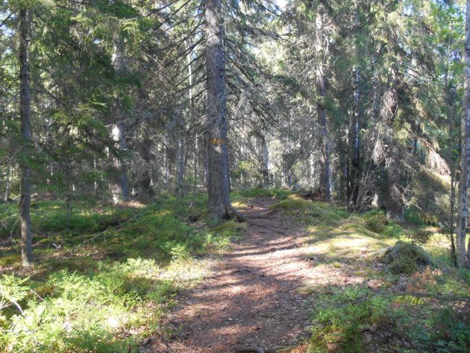 Kuvassa polku kuusikossa. Aurinko paistaa puiden runkojen välistä kanervikkoon.