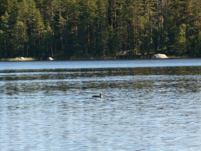 Kuvassa lintu ui järvellä. Järven toisella rannalla metsää ja muutama suuri kivi rannassa.
