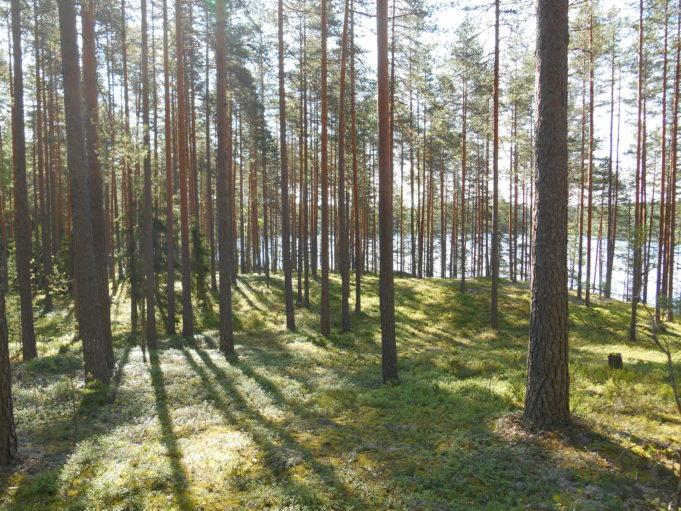 Kuvassa mäntymetsää. Aurinko paistaa puiden runkojen välistä kanervikkoon.