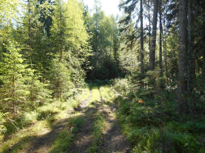Kuvassa metsäautotie vehreässä metsässä. Aurinko paistaa puiden runkojen välistä.