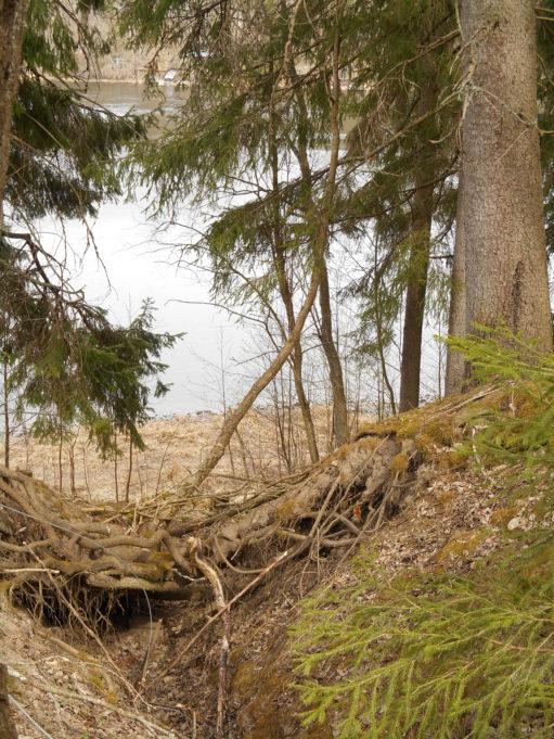 Kuvan oikeassa reunassa kuusi, jonka juuret kulkevat maanpinnalla ojan yli. Oksien lomasta näkyy joki.