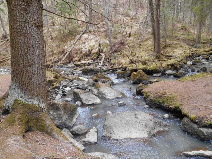 Kuvassa haarautuva puro metsässä. Puron keskellä kiviä ja reunalla suuren kuusen runko.
