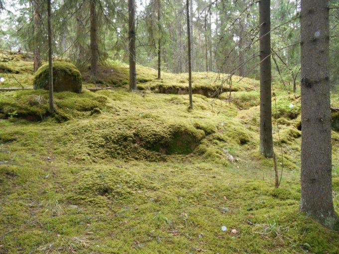 Kuvassa metsä, jossa eri kokoisia kuusia. Puiden aluskasvillisuus vaalean vihreää sammalta. Hieman sumuinen sää.