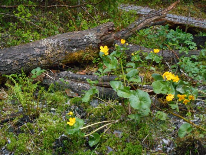 Lähikuvassa keltaisia rentukan kukkia lahonneen puunrungon vierellä.