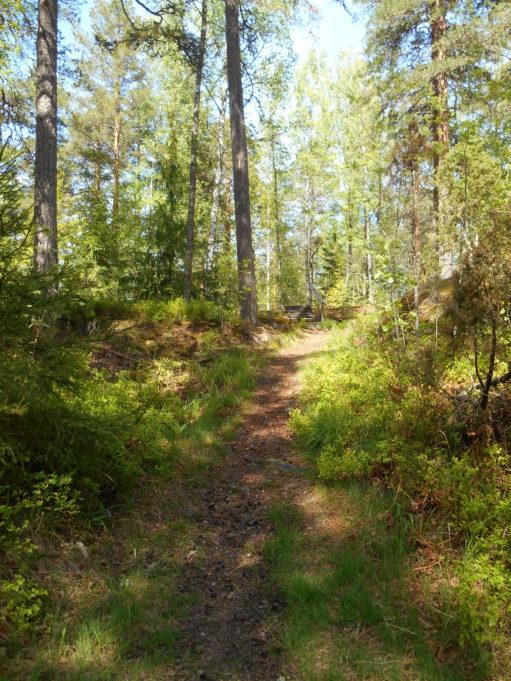 Kuvassa polku metässä. Aurinko paistaa kanervikkoon.