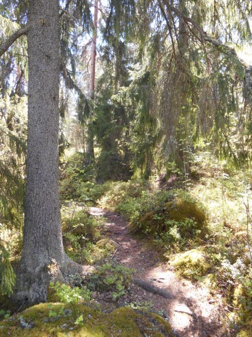 Kuvassa polku metässä. Polun vieressä olevan kuusen oksat roikkuvat polun yllä. Aurinko paistaa kanervikkoon.