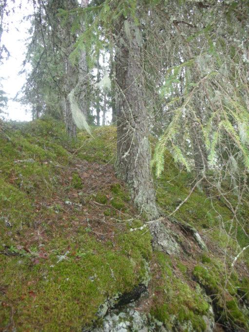 Kuvassa kuusen runko sammaleisen kallion päällä. Kuusen oksat roikkuvat kuvaajan yläpuolella.