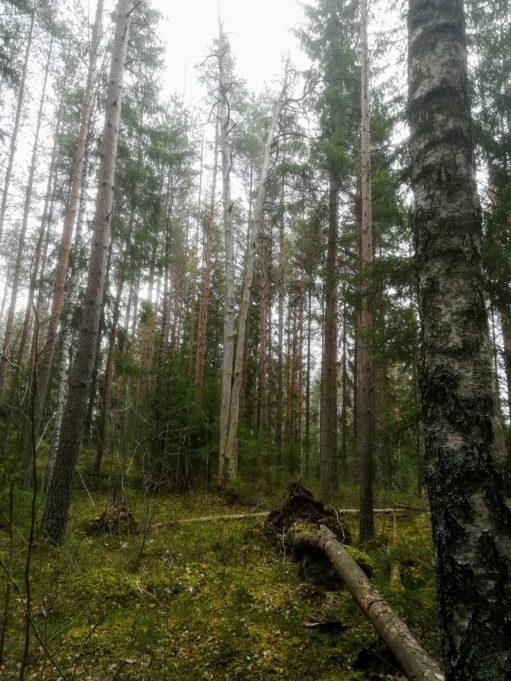 Kuvassa sekametsää, yksi puu on kaatunut maahan. Taivas on harmaa.