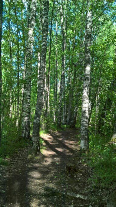Kuvassa polku johtaa koivikkoon. Aurinko paistaa puiden lehtien ja runkojen välistä.