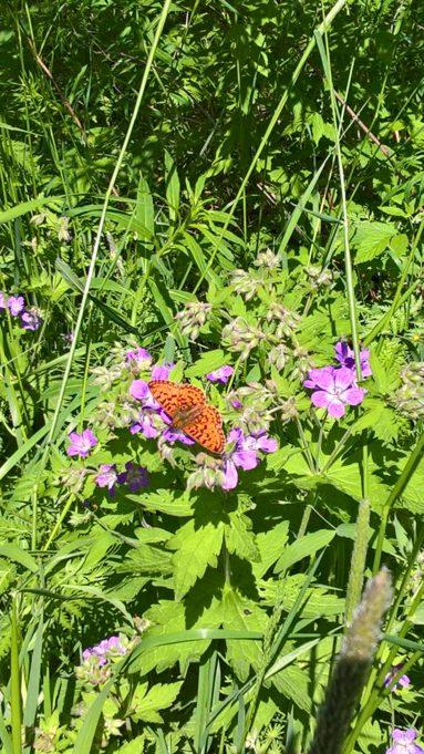 Kuvassa oranssi perhonen violeteissa metsäkurjenpolven kukinnoissa.