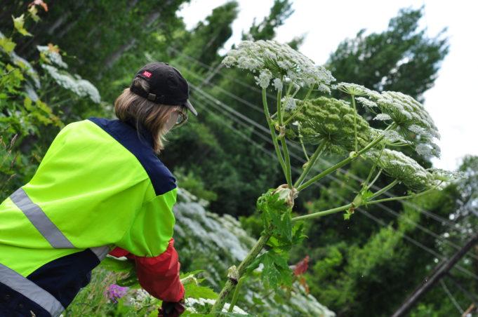 Kuvassa nainen huomiotakki päällä jättiputken vierellä. Jättiputken kukinto ulottuu noin metrin naisen pään yläpuolelle.