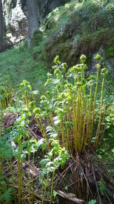 Kuvassa kirkkaan vihreät saniaisen alut. Aurinko kimaltelee lehdissä.