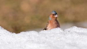 Kuvassa punarintainen peippo kurkistelee lumikinoksen takaa