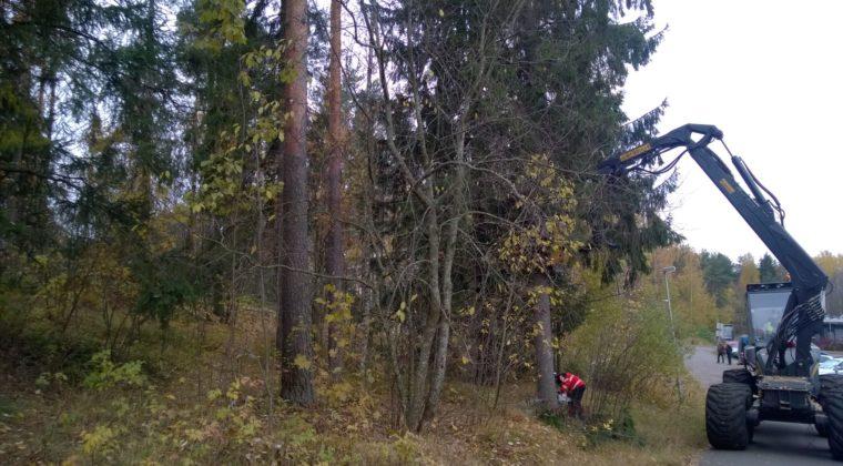 Metsuri kaataa isoa kuusta pyörätien varresta.