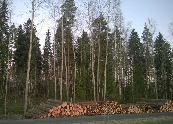 Puukasoja metsänhoitotöiden jäljiltä. Taustalla metsää.
